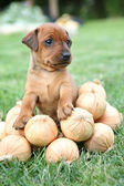 The Miniature Pinscher puppy, 1 months old — 图库照片