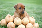 The Miniature Pinscher puppy, 1 months old — Zdjęcie stockowe