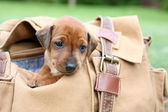 The Miniature Pinscher puppy, 1 months old — Stockfoto