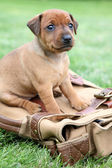 The Miniature Pinscher puppy — 图库照片