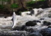 Big salmon — Stock Photo