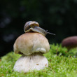 Boletus with snail — Stock Photo