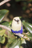 Blue Bellied Roller Chirping in Tree — Stock Photo
