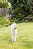 White Poodle with Tennis Ball — Stock Photo