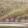 Fir Trees on Alaskan Waterway — Stok fotoğraf