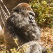 Gorilla Looking Sideways at Camera — Stock Photo
