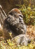 Gorilla Looking Sideways at Camera — Stock Photo