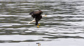 Eagle Swooping for Food — Stockfoto