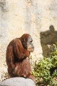 Orangotango na silhueta de pedra — Foto Stock
