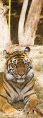 Bengal Tiger Resting — Stock Photo