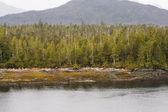 Pines and Fir Trees on Alaskan Coast — ストック写真