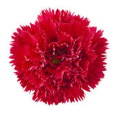 Red carnation flower — Stock Photo