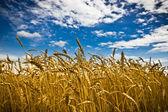 Pole pszenicy złotej z niebieski niebo w tle — Zdjęcie stockowe