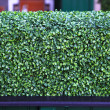Stock Photo: Hedge green