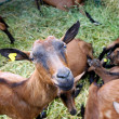 Stock Photo: Brown goat