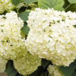 Hydrangea macrophylla (white Hortensia) - Stock Photo