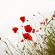 Poppies — Stock Photo #11365696
