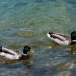 Two ducks swimming in a lake — Stock Photo #11077098