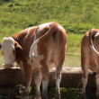 Cows At Trough — Stock Photo