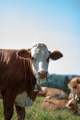 Cows grazing with flies — Fotografia Stock