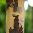 Bark Of The Platan Tree. Texture — Stock Photo
