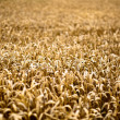 Stock Photo: Gold Corn Field