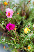 Mixed Portulaca — Stock Photo