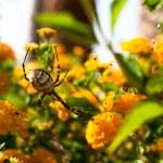 Spider Argiope lobata — Stock Photo