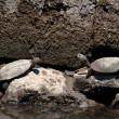 European Pond Terrapin Turtles — Stock Photo