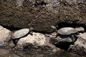 European Pond Terrapin Turtles — Stock Photo