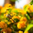Spider Argiope lobata — Stock Photo #12336137