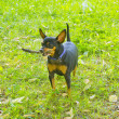 Pinscher — Stockfoto #11164790