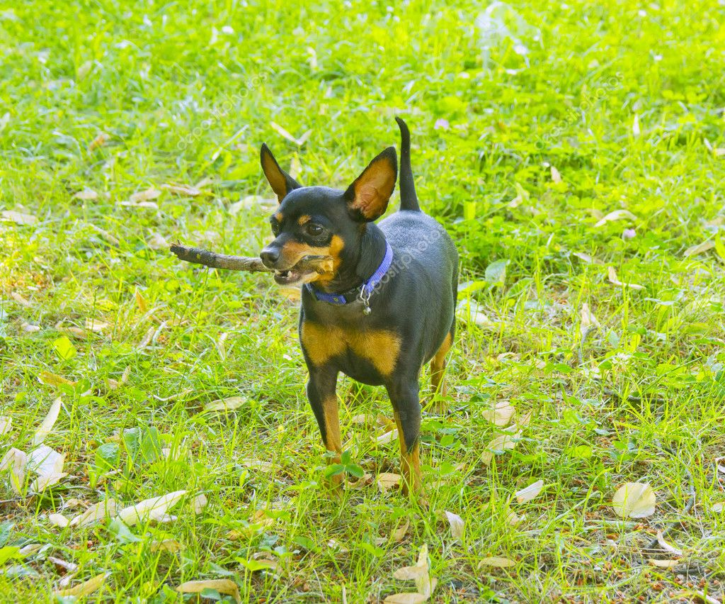 Standing miniature Pinscher with a piece of wood in the mouth  Stock Photo #11164790
