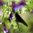 Closeup of Black Butterfly on Purple Flower — Stock Photo