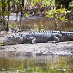 Large Crocodile — Stock Photo #10791841