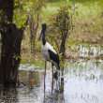 Bird Life In Kakadu National Park — Stock Photo #10791928