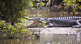 Large Crocodile — Stock Photo