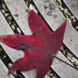 Stock Photo: Fallen Maple Leaf