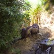 Beavers In Woods — Stock Photo #11608735