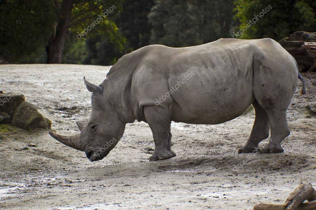 Rhinoceros alone close up — Stock Photo #11606645