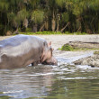 Hippopotamus — Stock Photo #11610802