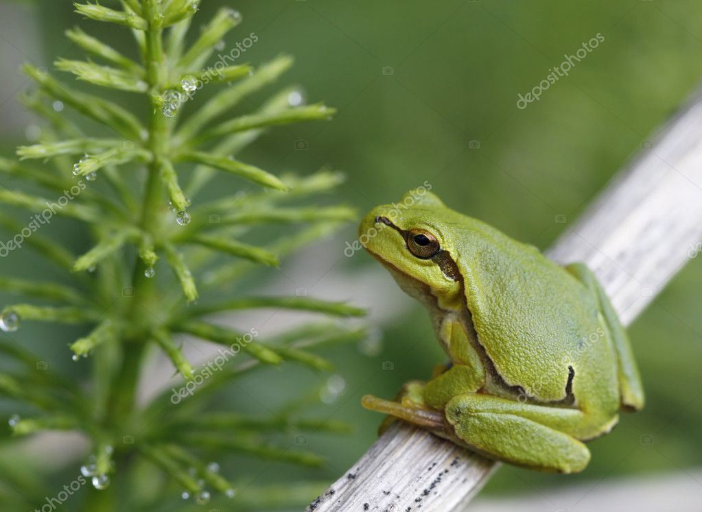 Green tree frog sitting on the twig  Stock Photo #11407486