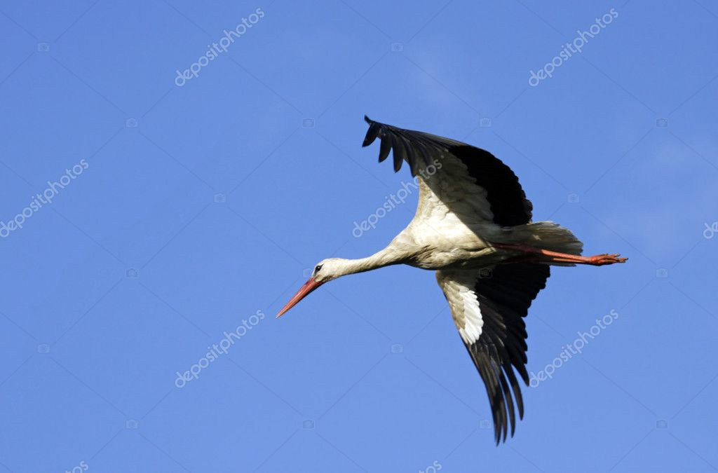 Stork in flight  Stock Photo #11678207