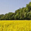 Rape seed crop — Stock Photo