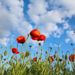 Field with poppys under dark blue by sky — Stock Photo