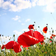 Field with poppy under dark blue by sky — Stock Photo