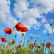 Field with poppys under dark blue by sky — 图库照片