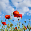Field with poppys under dark blue by sky — Stock Photo #10977776