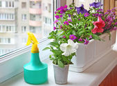 Planting flowers petunia. Seasonal flowering of balcony — Stock Photo