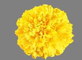 Gele bloem, goudsbloem — Stockfoto